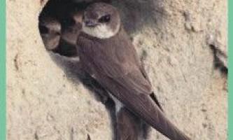 Семействоласточковие / hirundinidae