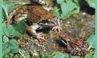 Семействолягушкі справжні / banidae