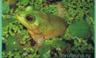 Семействопсеудіси / pseudidae