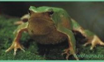 Семействорінодерми / rhinodermidae
