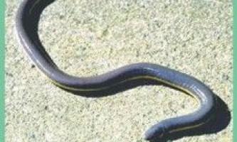 Семействорибозмеі / ichtyophiidae