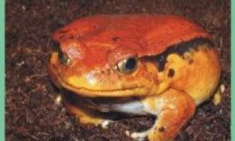 Семействосвістуни / leptodactylidae