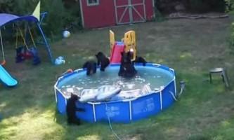 Сім`я ведмедів влаштувала вечірку в дитячому басейні