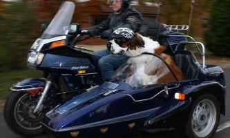 Сенбернар по кличці харлі обожнює кататися на мотоциклі