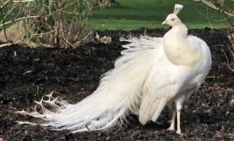 Сенсація: у московському зоопарку з`явився білий павич