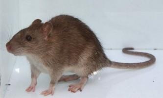Сірий пацюк, або пасюк: фото, опис тварини