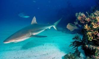 Сіра рифова акула - ручний хижак?