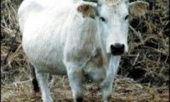 Сіра українська порода корів
