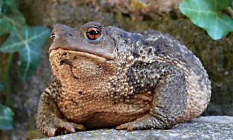 Сіра жаба або звичайна - найбільша серед європейських жаб