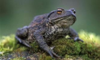 Сіра жаба - отруйна земноводне