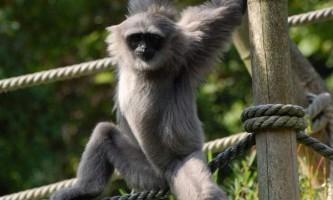 Сріблястий гібон - вимираючий примат