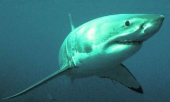 Серфінгіст зміг відбитися від атаки великої білої акули