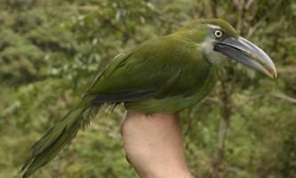 Сероклювий туканет: фото, опис птиці