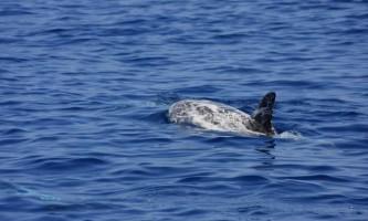 Сірий дельфін