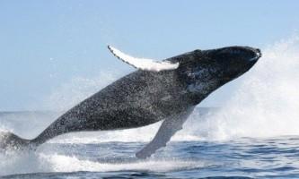 Сірий кит