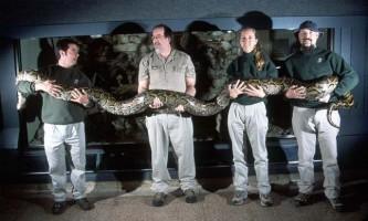Сітчастий пітон - найдовша змія в світі