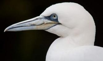 Північна олуша - морський птах