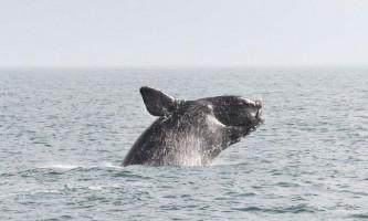 Північноатлантичний гладкий кит - найрідкісніший представник роду