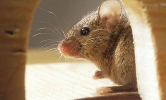 З`їла марихуану миша оголошена в розшук