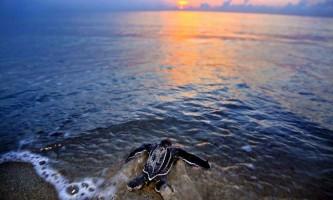 Сезон гніздування морських черепах підійшов до завершення