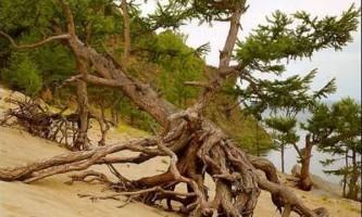 `Крокуючі` дерева в бухті піщана, байкал