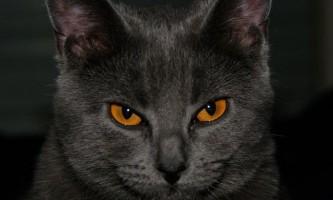 Шартрез (chartreux) або картезіанська кішка