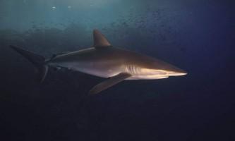 Шовкова акула: «оксамитовий» вбивця