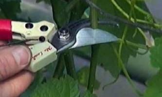 Схема обрізки винограду восени - цікава і не складна процедура