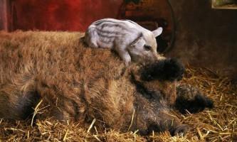 Шерстисті свині: кучерики як у баранчика