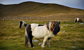 Шетландские поні острова фула