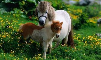 Шетлендських поні - одна з найстаріших порід коней