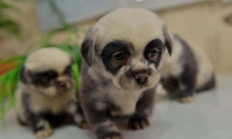 Цуценята, схожі на дитинчат панди, народилися у звичайній дворової собаки