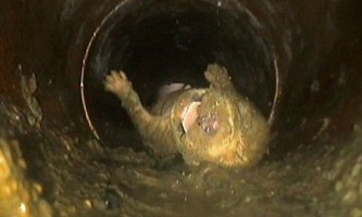 Щеня кокер-спанієля зміг вижити після того, як його випадково змили в унітаз