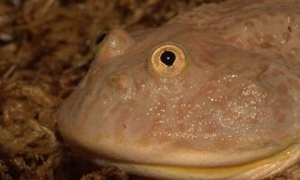 Щітоспінкі (lepidobatrachus), або жаба баджіта