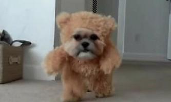 Ши-тцу на прізвисько гном симпатичніше, ніж ведмедик тедді