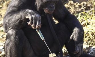 Шимпанзе-бонобо навчився користуватися вогнем