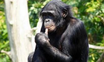 Шимпанзе бонобо розповідають один одному, де знаходиться найсмачніша їжа