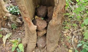 Навіщо шимпанзе кидають камені в дерева?