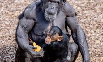 Шимпанзе можуть представляти людині небезпека