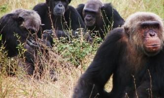 Шимпанзе не можуть стримати емоцій через невдачі
