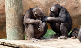 Шимпанзе виявили в собі винятковий егоїзм