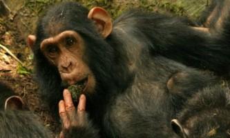 Шимпанзе переймають ідеї один у одного в дикій природі