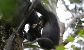 Шимпанзе п`ють алкогольний сік рослин в дикій природі