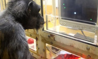 Шимпанзе стають нам все ближче ...
