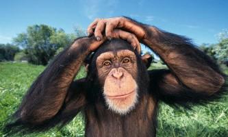 Шимпанзе вбивають своїх родичів заради їх території