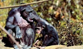 Шимпанзе доглядають за своїми інвалідами