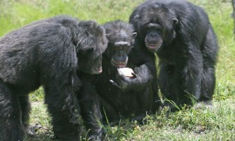 Шимпанзе вказали на популярність взаємодопомоги серед тварин