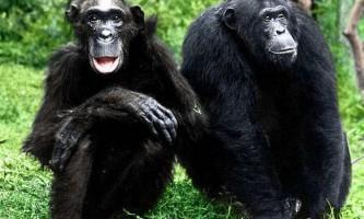 Шимпанзе вміють підтримувати вигідні для них соціальні відносини