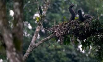 Шимпанзе вибирають місце для ночівлі з особливою ретельністю