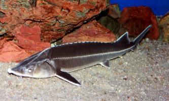 Шип: риба з гострим «зброєю»